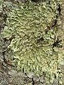 Flavoparmelia caperata - Flickr - pellaea (10).jpg