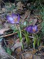 Fleurs de printemps... des crocus ? (5656733032).jpg
