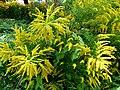 Fleurs jaunes en buisson.jpg
