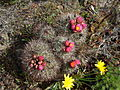 Flickr - brewbooks - Pediocactus simpsonii (14).jpg
