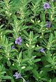 Flickr - ggallice - Oblongleaf Twin Flower.jpg