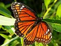 Florida Viceroy on Willow (4667820574).jpg