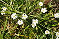 Flowers near Lannacombe (3100).jpg
