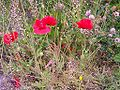 Flowers on unmowed verge.JPG
