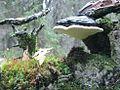 Fomitopsis pinicola FI.jpg
