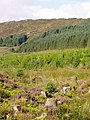 Forest regeneration below Darnaw - geograph.org.uk - 540030.jpg