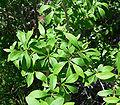 Forestiera pubescens 6.jpg