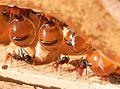 Formigas-pote-de-mel.jpg