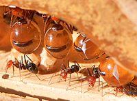 Formigas Pote de Mel