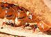 Hormigas Mieleras - Photo (c)  Greg Hume, modificada por Aurélio A. Heckert, algunos derechos reservados (CC BY-SA)