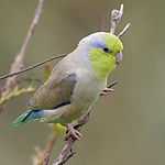 A white parrot with beige and blue-tipped wings, a green tail, a yellow-green face and forehead, and a violet nape