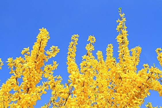 Forsythia with cloudless sky.jpg