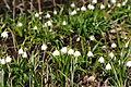 Frühlings-Knotenblume, Leucojum vernum 33.JPG