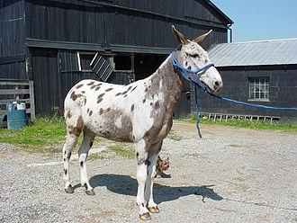 Mule - A spotted mule