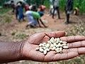 Freshly harvested legumes in Bié province.jpg