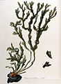 Fucus vesiculosus — Flora Batava — Volume v11.jpg