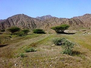Wildlife of the United Arab Emirates - Acacia tortilis in a mountainous landscape