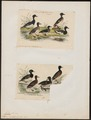 Fulix cristata - 1700-1880 - Print - Iconographia Zoologica - Special Collections University of Amsterdam - UBA01 IZ17700047.tif