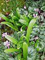 Galanthus woronowii2.jpg
