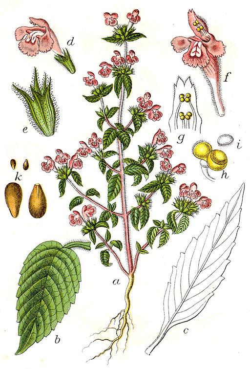 Galeopsis ladanum Sturm32