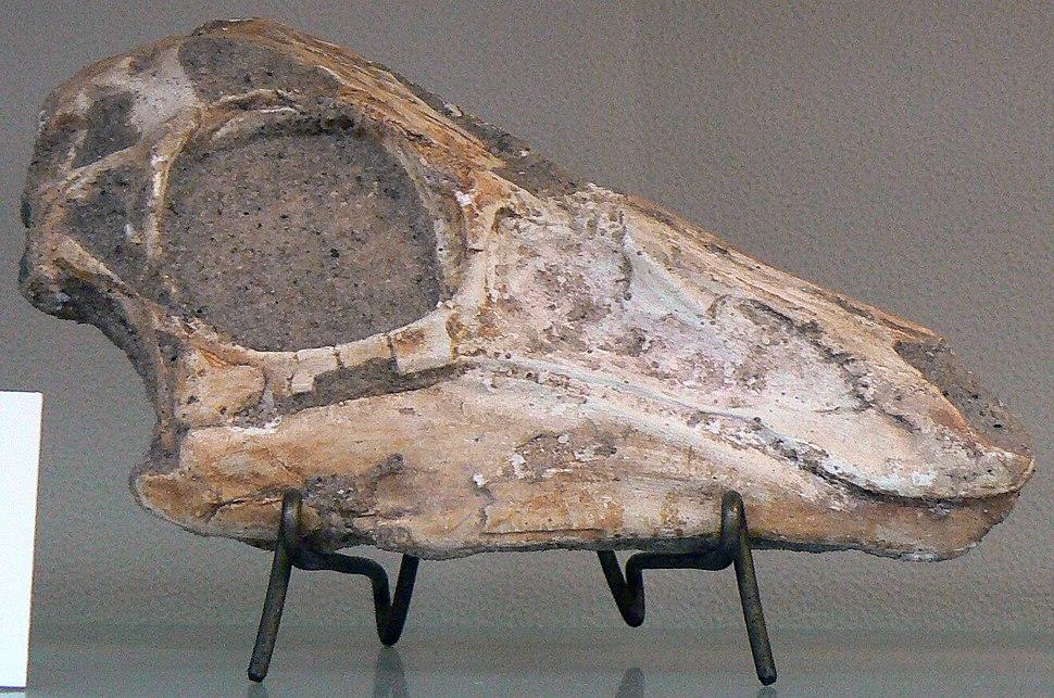 Gallimimus bullatus skull