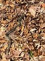 Garter Snake Ferris 2 (2426449024).jpg