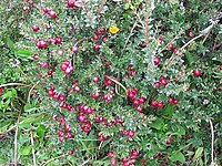 Gaultheria mucronata prickly heath