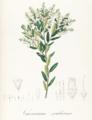 Gaylussacia pseudo-gaultheria Pohl124.png