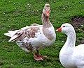 Geese (11225398226).jpg