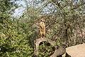 Gelsenkirchen - Zoom - Afrika - Suricata suricatta 03 ies.jpg