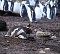 Gentoo Penguin guards its chick from Brown Skuas (5751743382).jpg