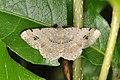 Geometridae (14406599738).jpg