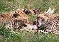 Gepardjagt3 (Acinonyx jubatus).jpg