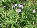 Geranium pyrenaicum sl14.jpg