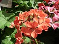Geranium single from Lalbagh flower show Aug 2013 7911.JPG