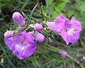 Gerardia fiebrigii (8663528507).jpg