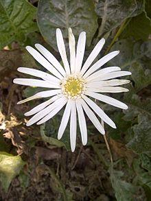 Gerbera Wikipedia