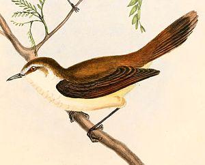 Chatham gerygone - Image: Gerygone albofrontata Hullmandel