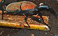 Giant Malayan Weevil (Macrochirus praetor) (8746882177).jpg