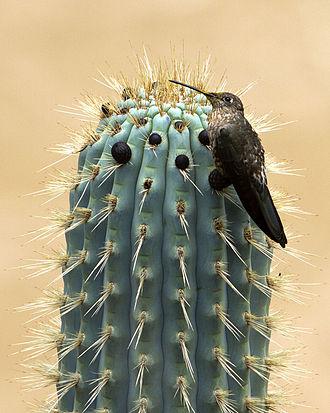 Giant hummingbird - Giant hummingbird on cactus in Peru