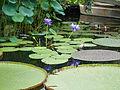 Giant lillies (14914451376).jpg