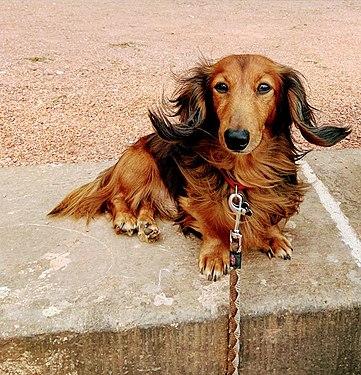 Gigio dachshund.jpg