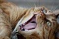 Ginger, big yawn (3334175524).jpg