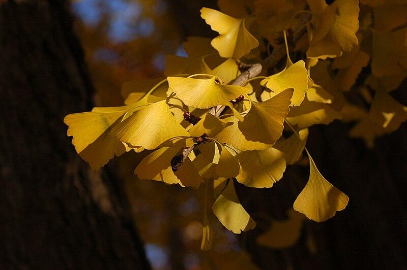 Ficheiro:Ginkgo Tree Ginkgo biloba Leaves Tree 3008px.jpg