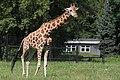 Giraffe (6039459405).jpg
