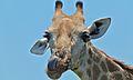Giraffe (Giraffa camelopardalis) (6001858853).jpg