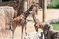 Giraffe Father and Son (32469583301).jpg