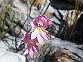 Gladiolus brevifolius (1).jpg