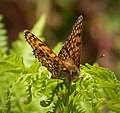 Glanville Fritillary. Melitaea cinxia (45759994202).jpg