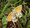 Glanville Fritillary underside. Melitaea cinxta (44552766165).jpg